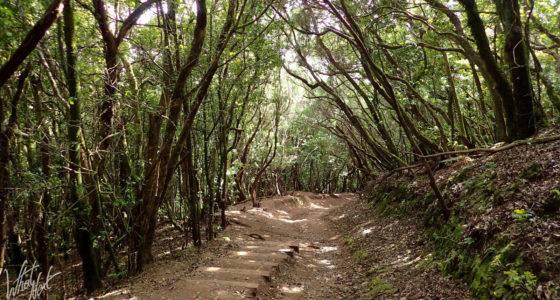 Forêt dans le Parc rural d'Anaga
