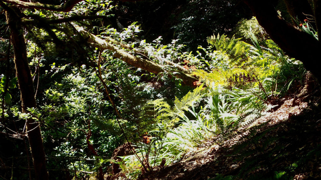Forêt Anaga